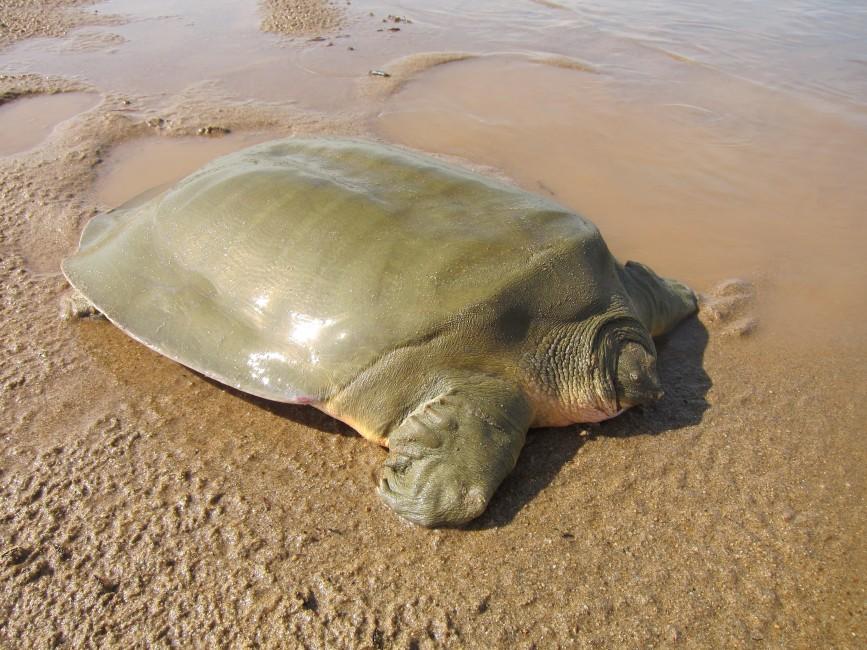 Soft Shell Turtles